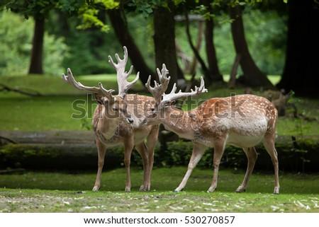 Persian fallow deer (Dama dama mesopotamica).