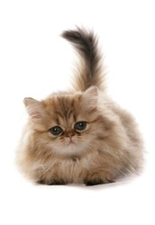 Persian golden Kitten laying isolated on a white background