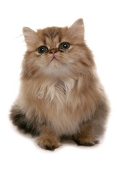Persian golden Kitten sitting isolated on a white background