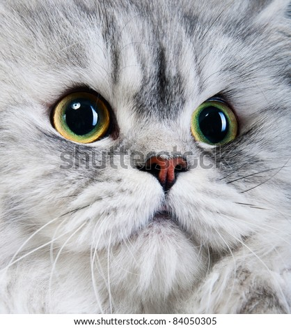 persian gray cat portrait with yellow-green eyes