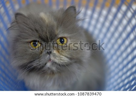 Persian Gray Cats Yellow eyes in a blue basket. #1087839470