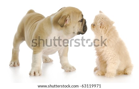 persian kitten and english bulldog greeting each other with reflection on white background