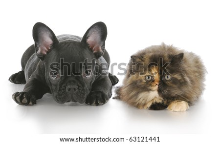 persian kitten and french bulldog puppy laying down looking at viewer with reflection on white background