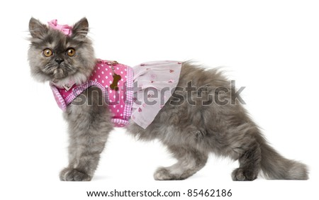 Persian kitten dressed in pink, 3 months old, in front of white background