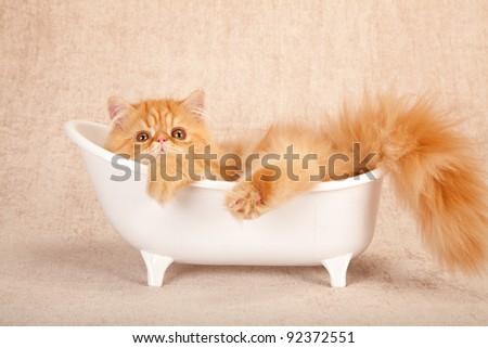 Persian kitten lying in miniature bath on beige background