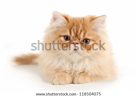 Persian kitten lying on a white background