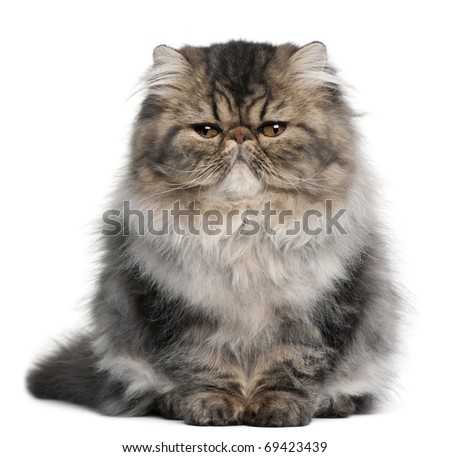 Persian kitten, 4 months old, sitting in front of white background