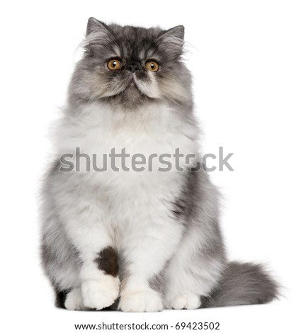 Persian kitten, 6 months old, sitting in front of white background - stock photo