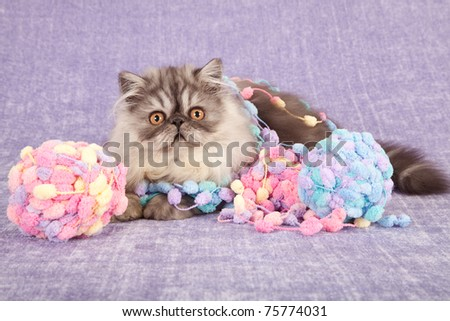 Persian kitten on lilac background with balls of knitting wool yarn