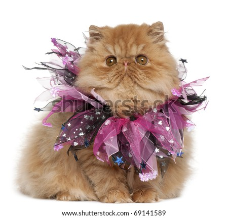 Persian kitten wearing pink ribbons, 4 months old, sitting in front of white background