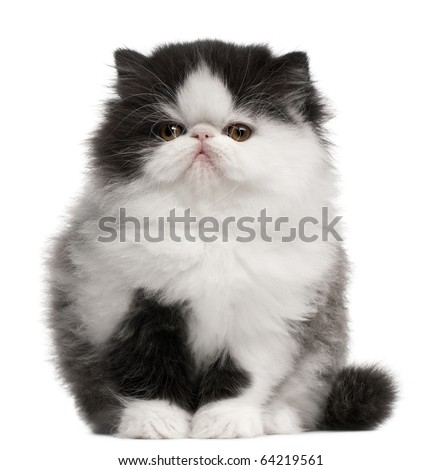Persian Kitten, 10 weeks old, sitting in front of white background