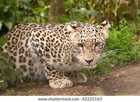 Persian Leopard #42225163
