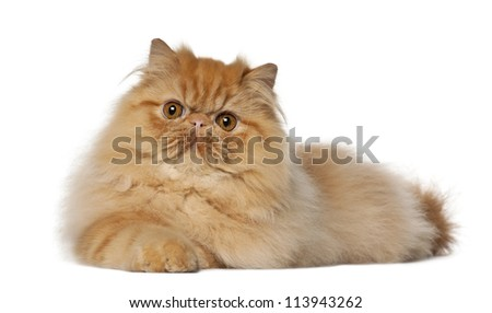 Persian, 7 months old, lying against white background