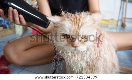 Persian or Chinchila cat with angry face when owner cleaning hairs after take a bath.