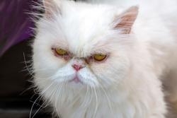 PersianCat looking at camera - stock image