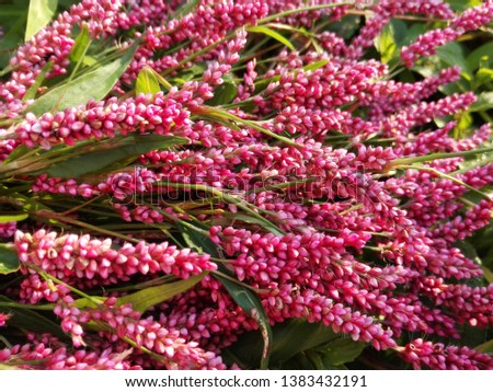 Persicaria hydropiper (Polygonum hydropiper) smartweed, water-pepper, water pepper, marshpepper knotweed, plant leaf. Pink wild herb smartweed flower, leaf knotweed nutural medicine pattern background