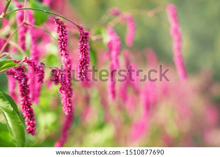 Persicaria or polygonum hydropiper on green blurred background. Beautiful branch with pink flowers