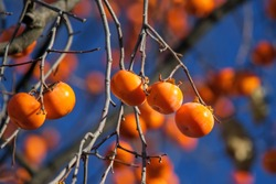 Persimmon Matures on the tree. Ripe persimmon fruits hang on a tree against the sky. Persimmon is a delicious and healthy fruit.