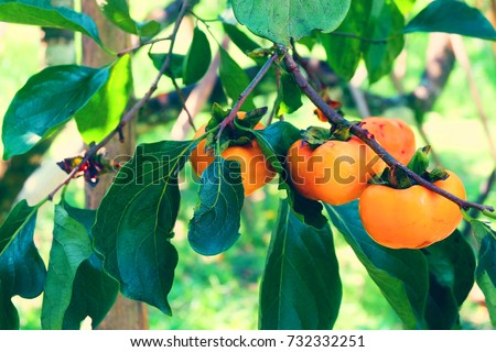 Persimmon tree with many persimmons in autumn.