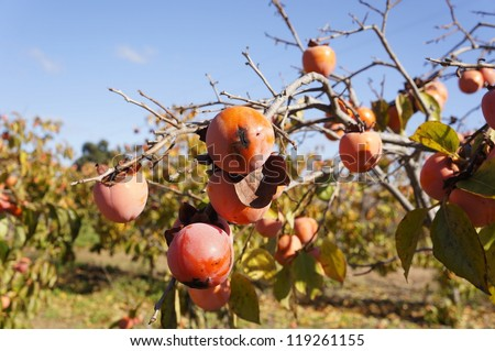 Persimmon tree with mature orange fruits, Spain