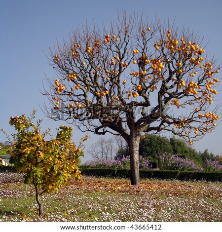 Persimmon tree with mature orange fruits, Tuscany (and small willow-leafed pear )