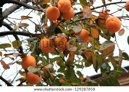 Persimmon tree with ripe orange fruits, date plums in autumn