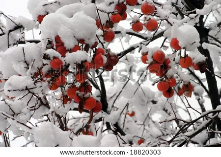 Persimmon tree with snow