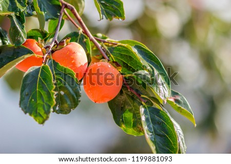 Persimmons that are ripened on the branches