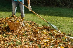 Person raking fallen leaves in the garden.Girl holding a rake and cleaning lawn from leaves during autumn season.Girl standing with rake. Autumnal work in garden.Fall seasonal housework.