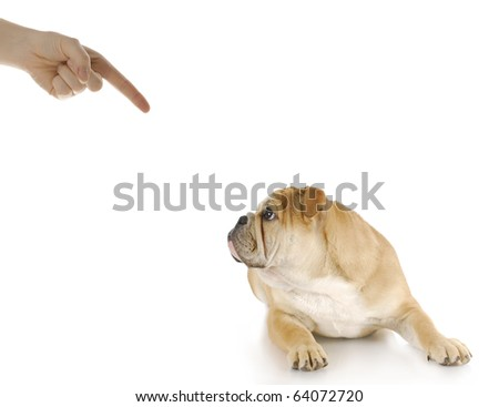 person scolding english bulldog puppy with guilty looking expression