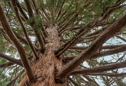 Perspective of looking up into a Giant Sequoia Redwood Tree. Sequoias are the largest living organism on earth.