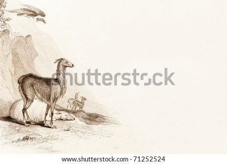 PERU, ALTIPLANO - CIRCA 1828 - Llamas and a condor.  This image is of an antique miniature drawing taken from the Illustrated Atlas of the World published circa 1828
