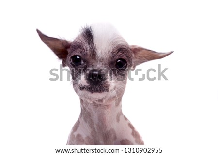 Young Hairless Mexican Dog Breed Images And Stock Photos Page 3