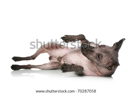 Peruvian hairless dog  resting on a white background