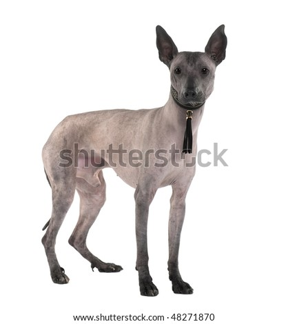 Peruvian Hairless Dog, 3 Years old, standing in front of white background