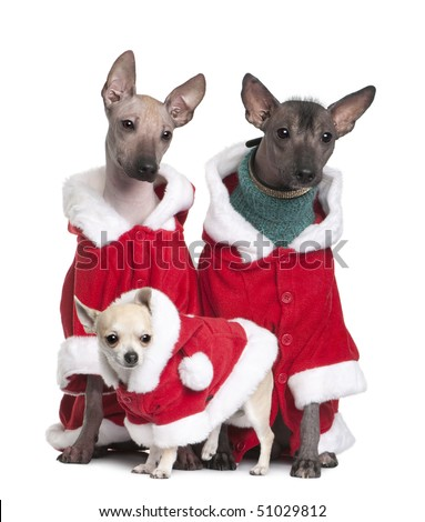 Peruvian Hairless Dogs and a puppy Chihuahua in Santa coats, 1 year, 2 years and 4 months old, in front of white background