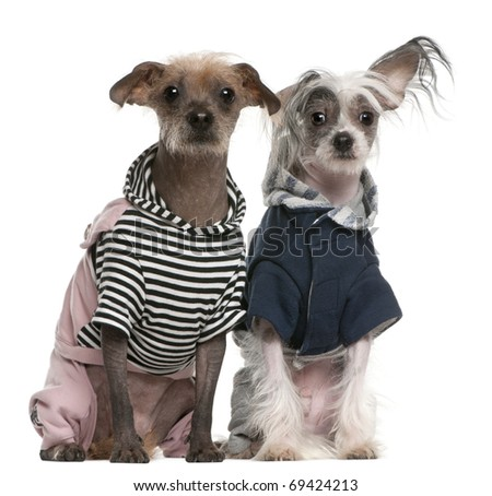 Peruvian Hairless dogs dressed up sitting in front of white background