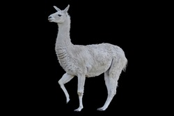 Peruvian Llama with thick hair and raised leg on a contrasting black background