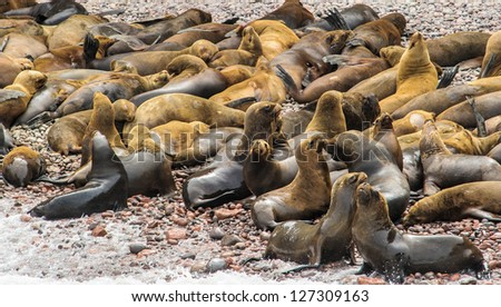 Peruvian sea lions of the Ballestas Islands