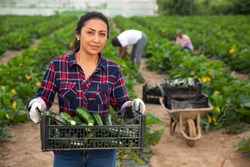 Peruvian woman working on vegetable plantation on spring day, carrying plastic box with freshly harvested zucchini