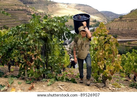 PESO DA REGUA, PORTUGAL - SEPT 10: Gathering grapes for Porto Wine during vintage season on September 10, 2005 at Peso da Regua (Portugal) next Douro river.