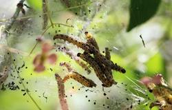 pest caterpillar silk Hyponomeuta malinella