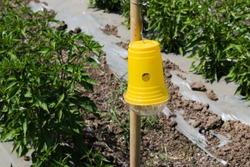 Pest management for crops using  pheromone trap. This insect trap applied with hormone glue for attraction of pest and insects. Organic farming methods for avoiding insecticide.