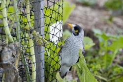 Pest Netting that allows the pollinators in and keeps birds, possums and rabbits out of the vegetable garden. Australian Noisy Minor Bird on the net.
