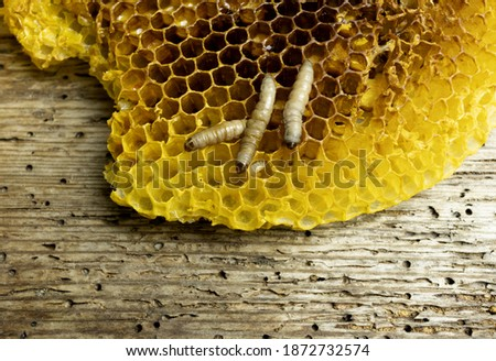 Pest of larvae and honey worms, Galleria mellonella species in a honeycomb without bees Foto d'archivio ©