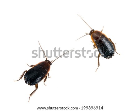 Shutterstock Pests!Two common black cockroaches, roaches isolated. Blatta orientalis.