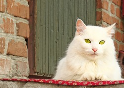 Pet - a beautiful thoroughbred white Siberian cat