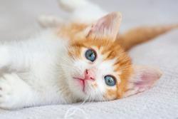 Pet animal; cute kitten cat