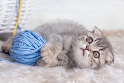 Pet animal; cute scottish fold kitten