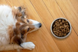 Pet anorexia, dog is sick or bored. Sshepherd dog and a bowl with dry food on wooden floor background, top view
